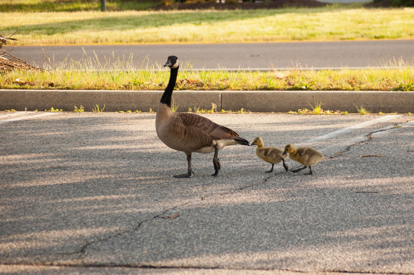 a goose with two followers (its goslings)