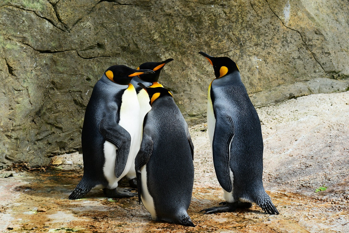 Four king penguins hanging out on a rock