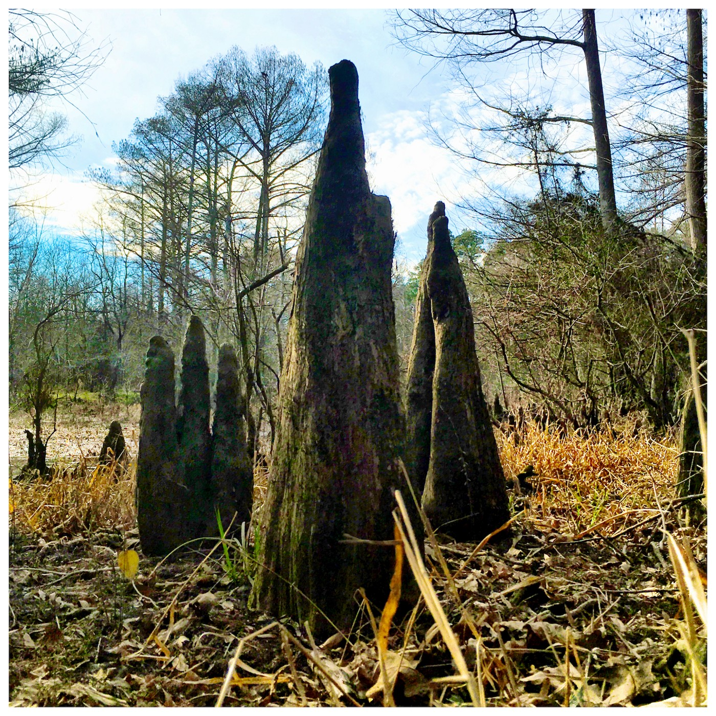 Cypress knees emerge from a swamp.