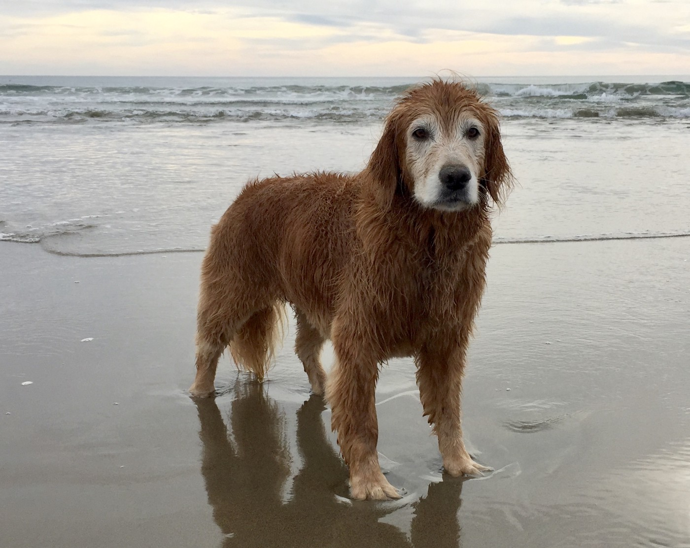 An old golden retriever on the beach in late afternoon.