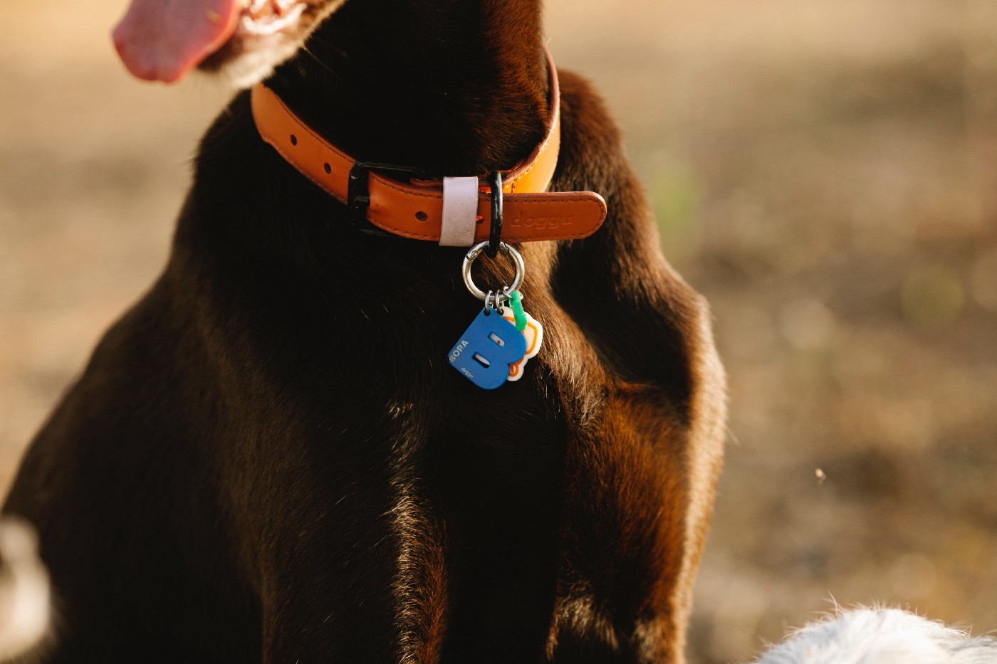 A zoom-in of a black dog's collar, which has a number of identifiers attached to the collar to identify him.