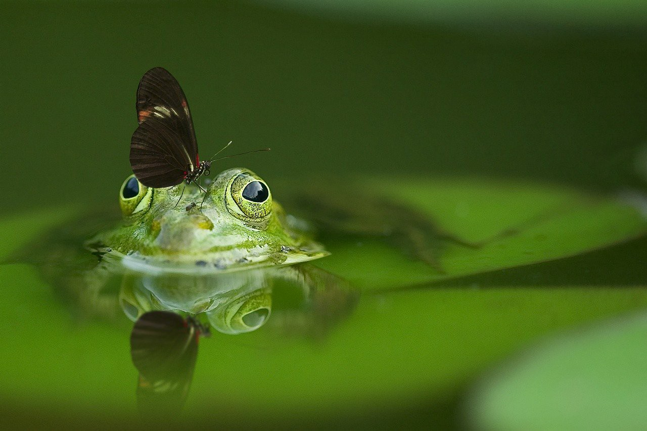 Frog in water with butterfly on head