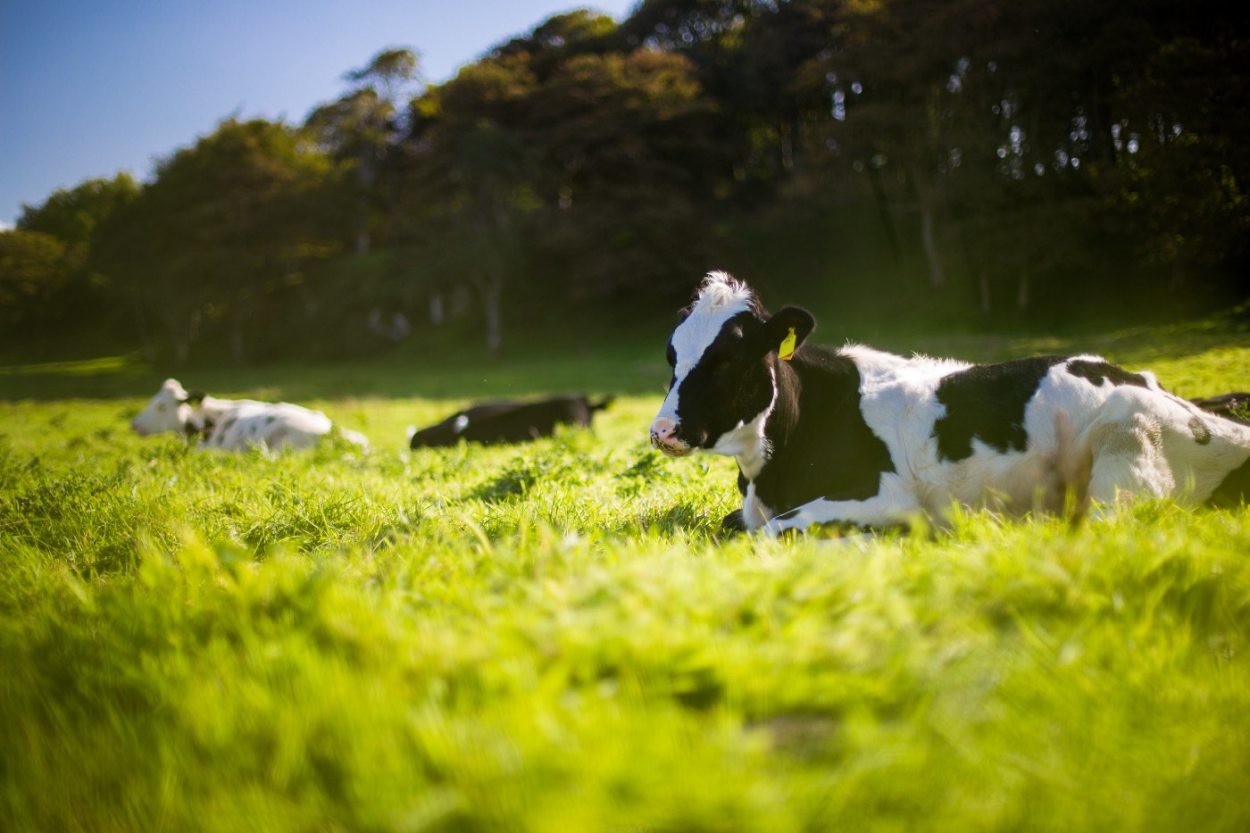 Cows grazing in a pasture