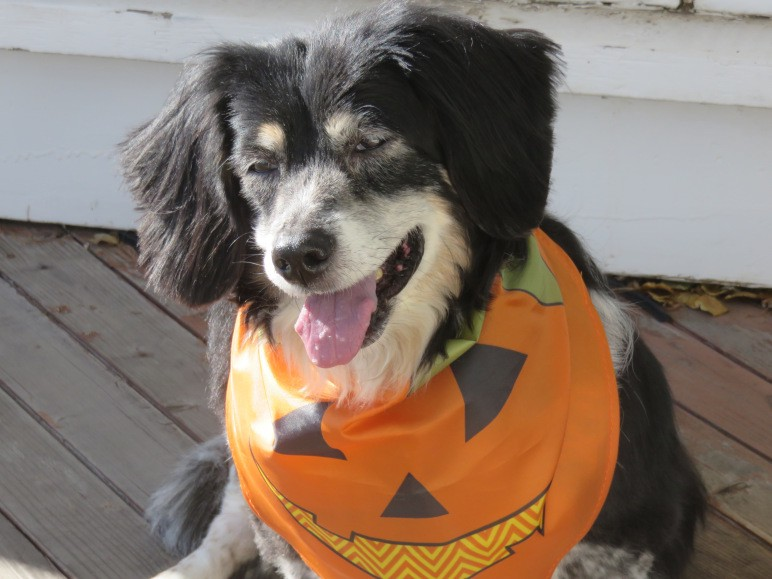 "A floppy-earned dog sits ""smiling"" with his tongue out, wearing a Halloween bandana."