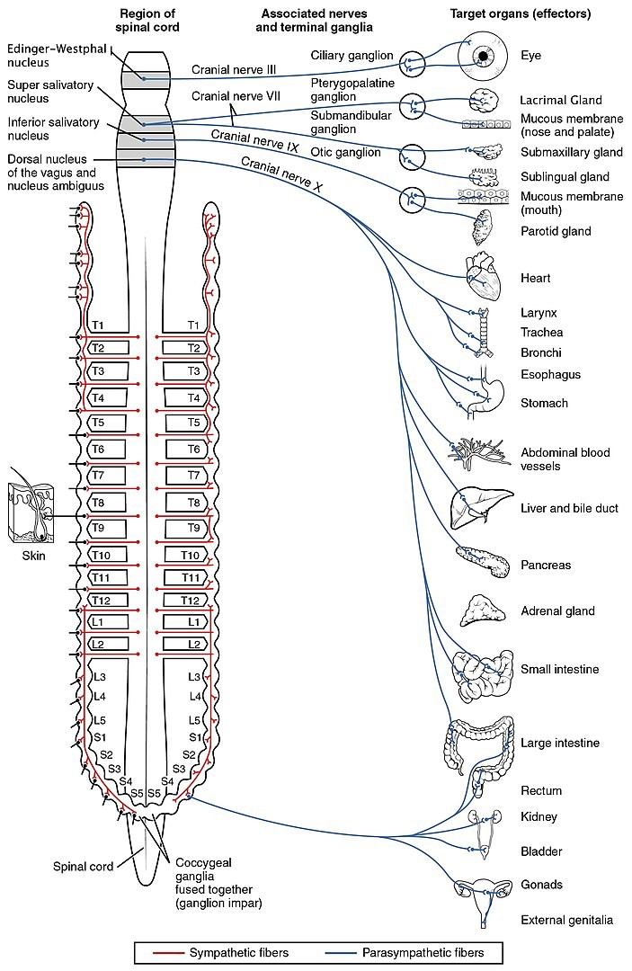 A map of the autonomic nervous system's connections to body organs and tissues