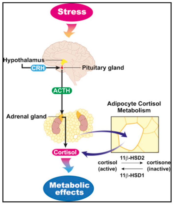 The working mechanism of the hypothalamic-pituitary-adrenal axis.