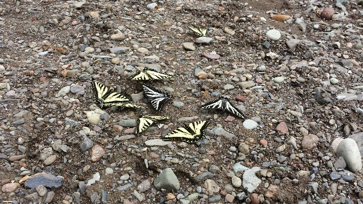 6 yellow and black buterflies in dirt