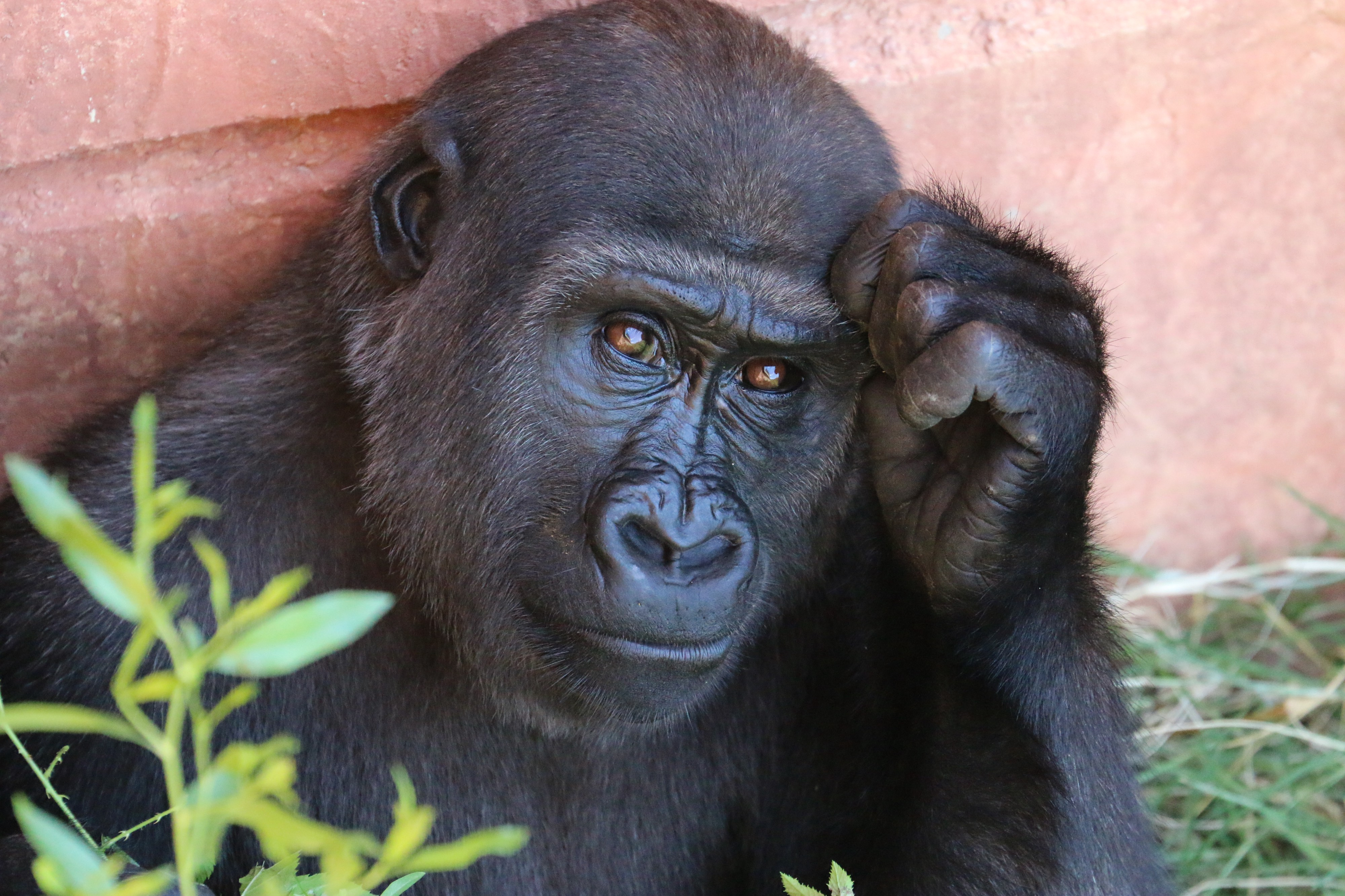 Gorilla thinking about a problem