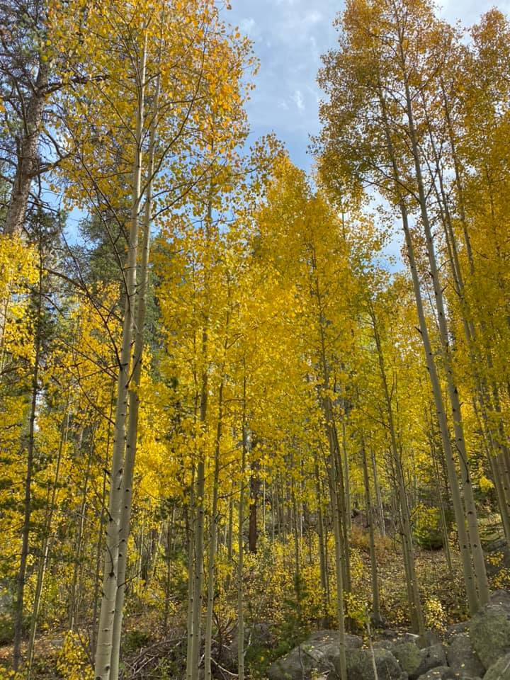 A forest of tall trees with white bark and bright yellow leaves glow in the sun. A blue sky is visible through the leaves.