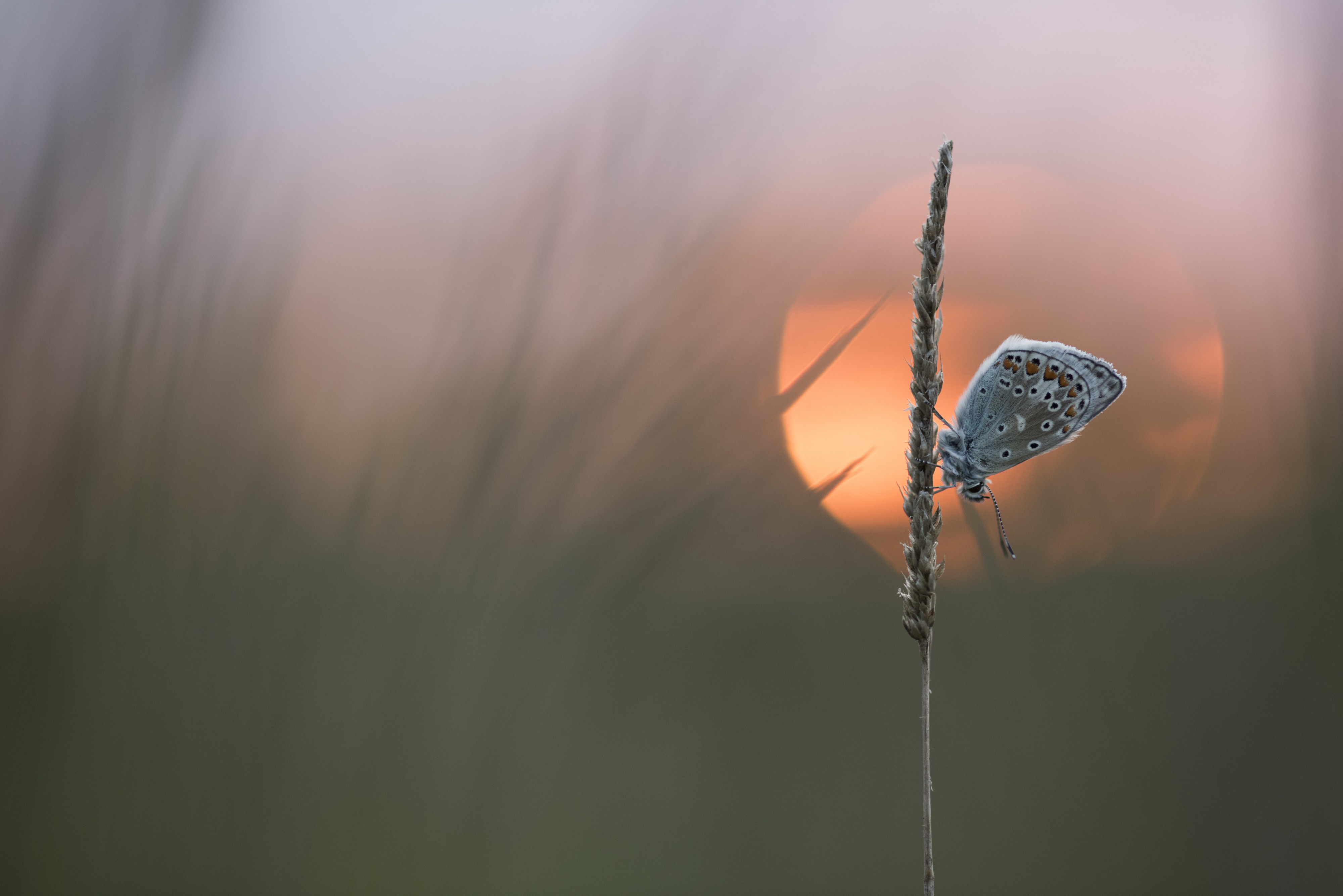 A butterfly perches on a clearly-focused piece of grass, with a glowing orange sunset framed perfectly behind her