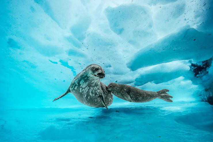 Under antarctica weddell seal pup.ngsversion.1497363711119.adapt.1900.1