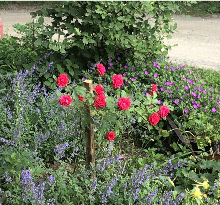 Perennial garden with roses and catmint in foreground