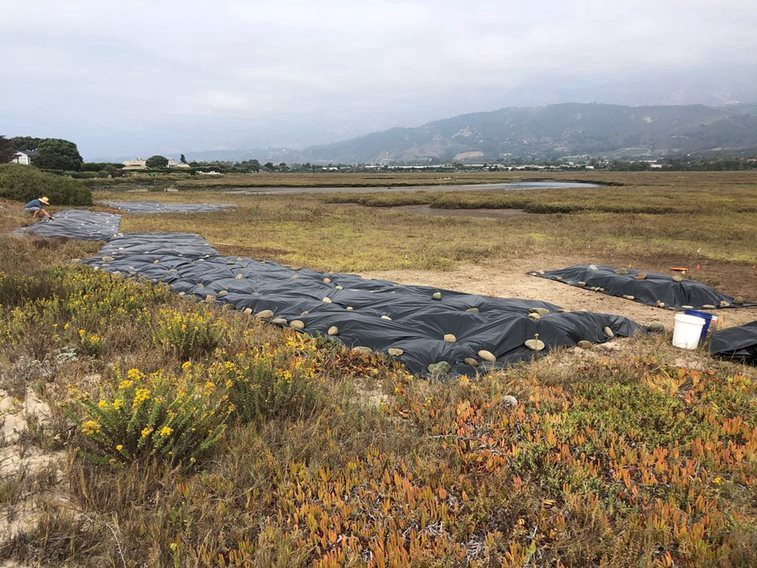 Marsh project area with tarp laid down.