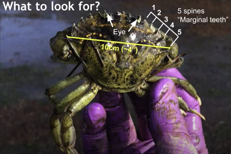 A photo of a green crab with its identifying features labeled