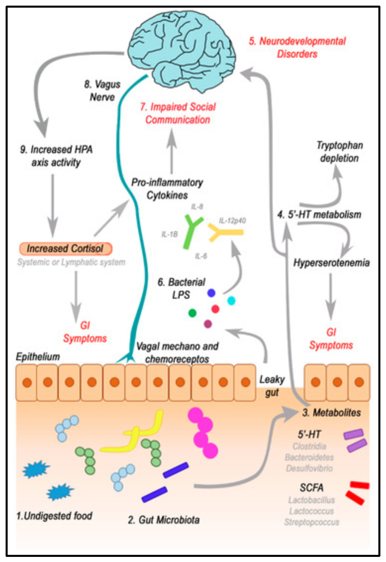 An example of interconnected gut-brain pathways in the case of autism spectrum disorder.