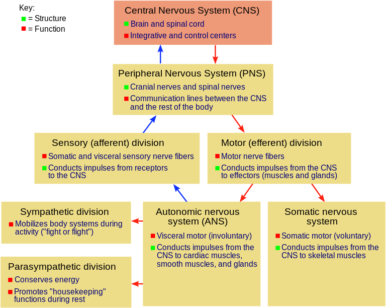 Chart explaining breakdown of nervous systems from Central Nervous System and Peripheral Nervous System, to Sensory and Motor divisions of the Peripheral Nervous System, to the Autonomic Nervous System and Somatic Nervous System, which has a sympathetic and parasympathetic division.
