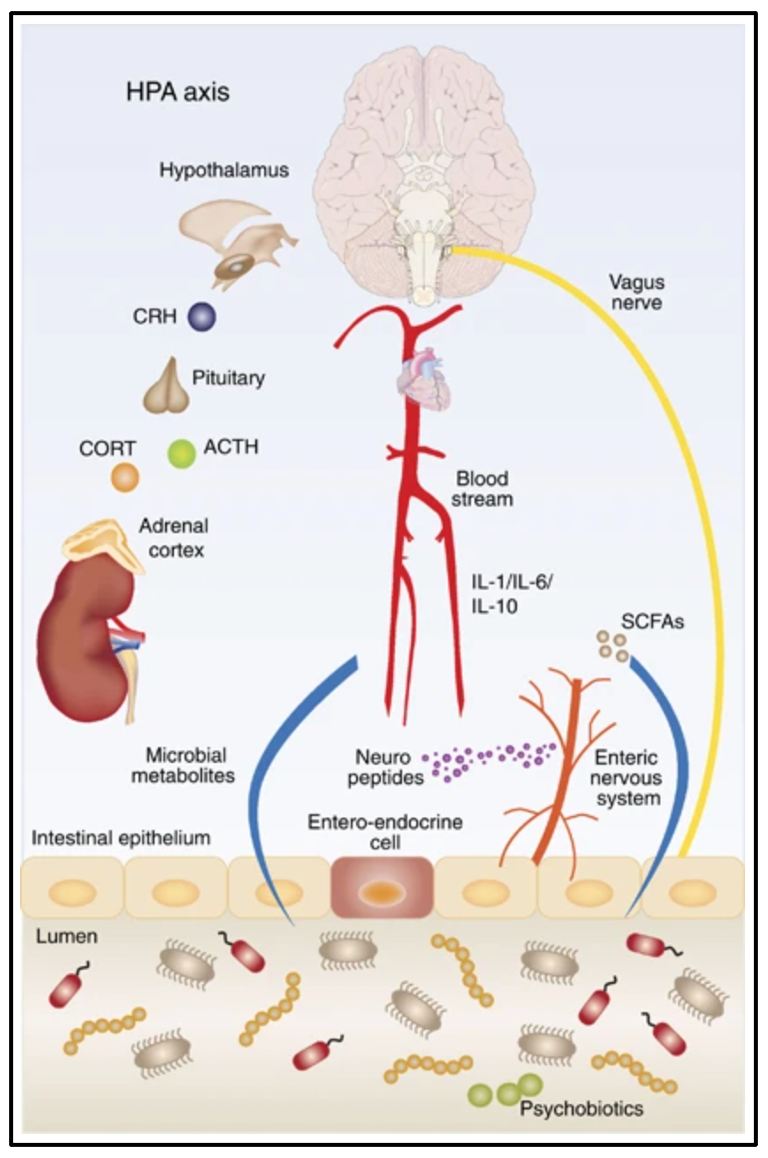 Schematic view of some of the pathways that connect the gut microbiota with the brain.