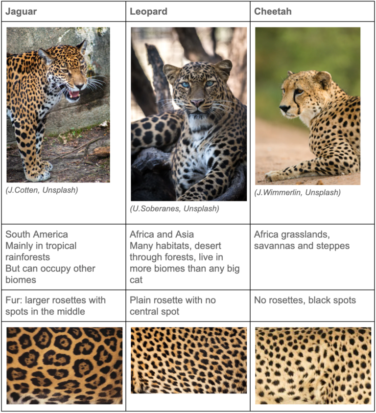 Table explaining the geographical ranges and spotted fur pattern of jaguars, leopards and cheetahs.