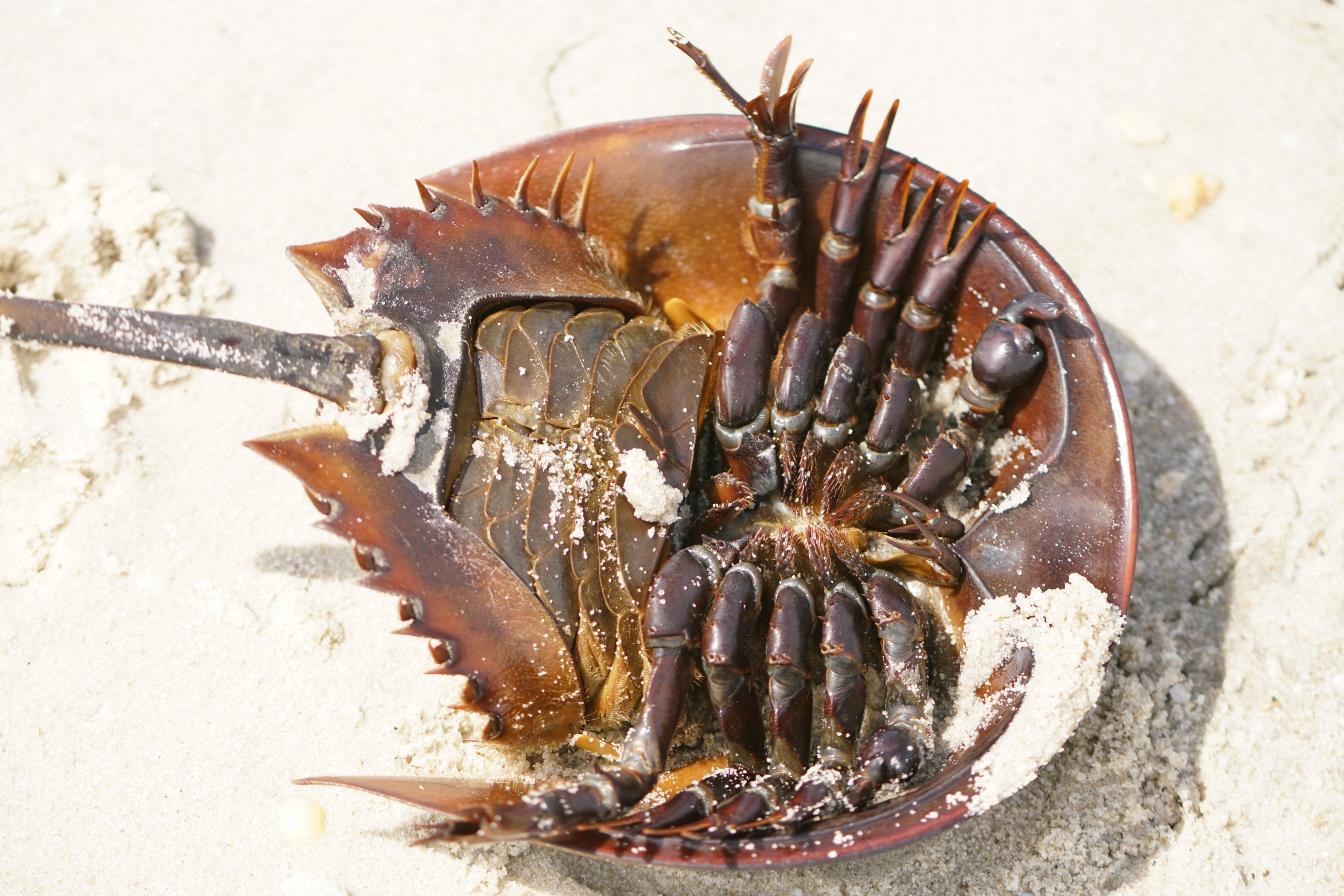 Picture of Crab