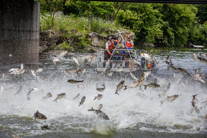 fish jumping out of water as 2 people in boat sweep nets