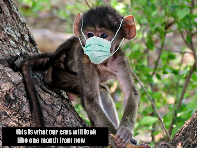 """Monkey wearing a facemask, with caption """"this is what our ears will look like in one month's time"""