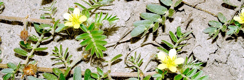 Puncture Vine: Tribulus Terrestris To Increase Testosterone Levels
