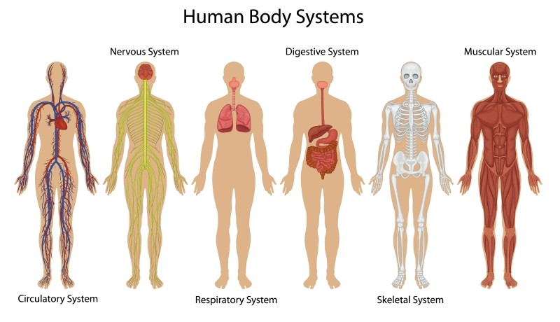 Image of human body systems: circulartory, nervous, respiratory, digestive, skeletal, and muscular.