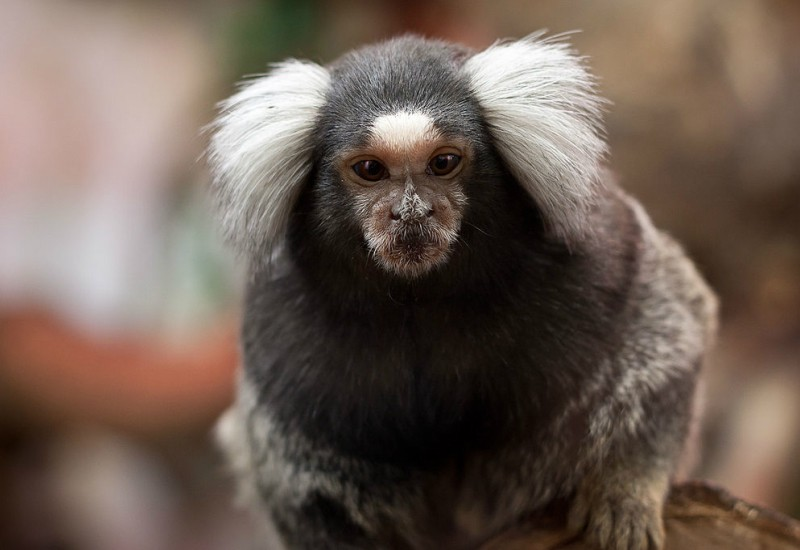 Miracle Monkey Brains Amazingly Made Bigger from Human Genes