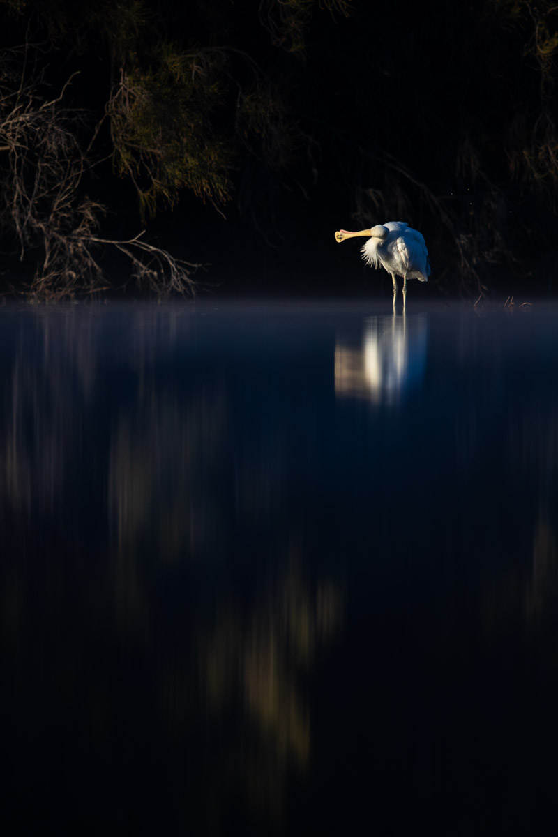 A Yellow-Billed Spoonbill standing in water; its reflection on the surface is blurry.