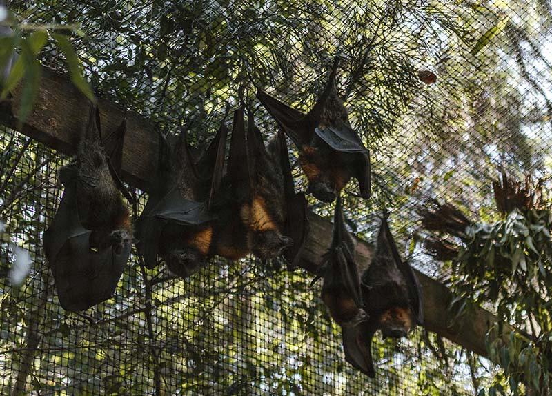 Bats hang upside down in a cage