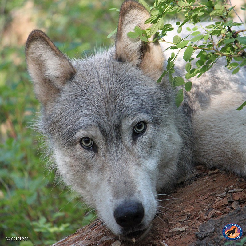 a troubling trend for wolves in oregon