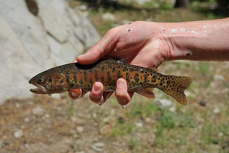 A hand holding a medium-sized fish covered in brown speckles with red and yellow coloration along its side.