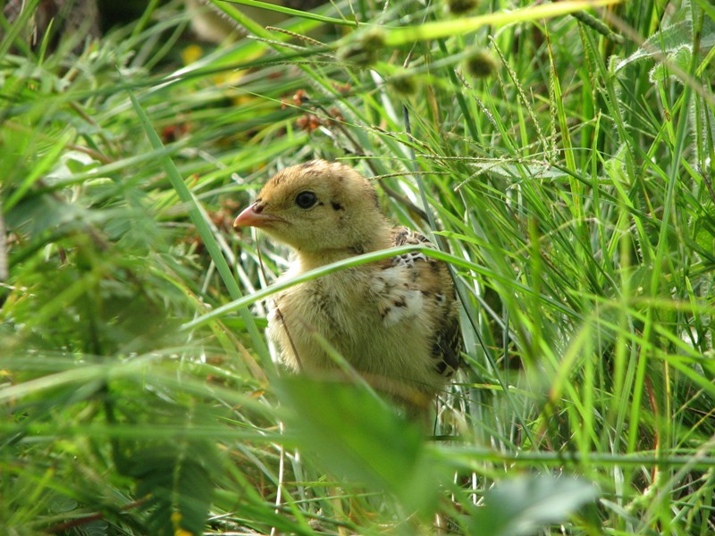 a small yellow chick in long grass