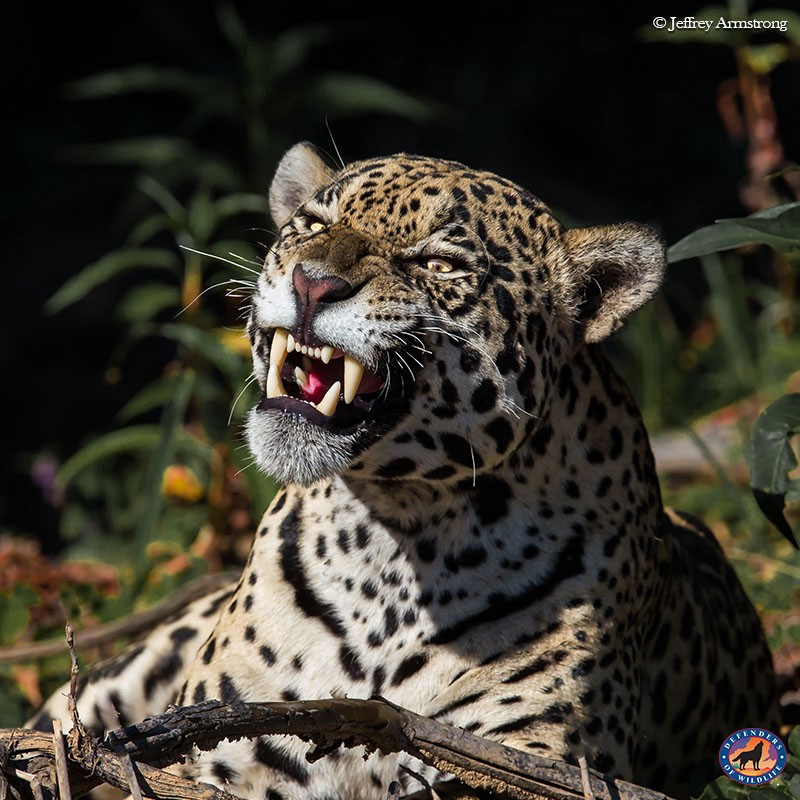 Jaguars are the New Tigers - Wild Without End - Medium