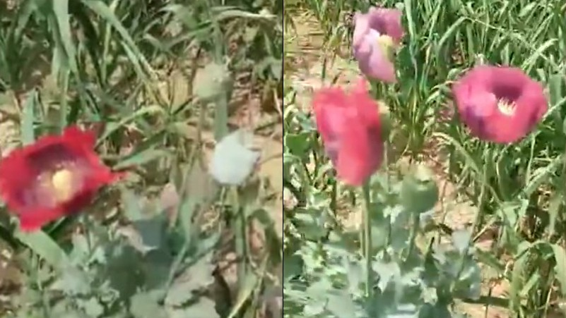 Opium poppies found growing at Henan government courtyard