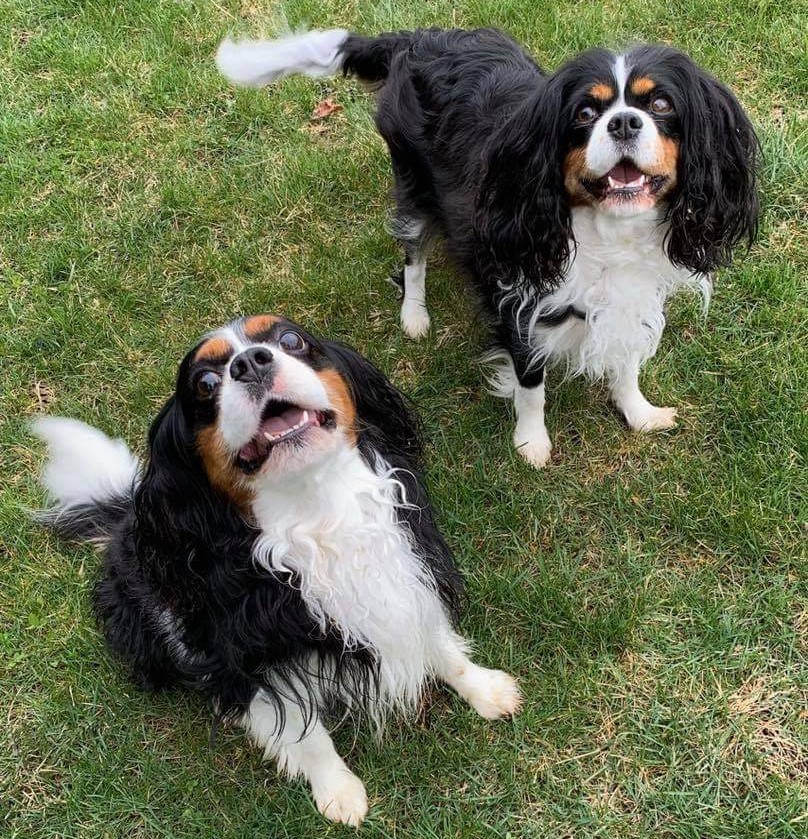two tricolor Cavalier King Charles Spaniels on green grass looking up at camera