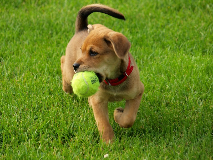 Adorable puppy with a tennis ball in its mouth that is half the size of its head.