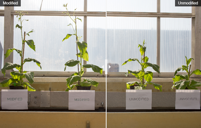 Scientists Patch Photosynthesis Glitch to Make Plants Grow 40 Percent Larger