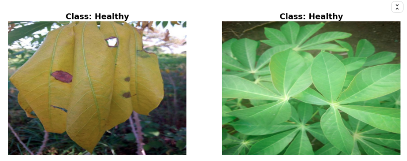 2 images of cassava plants. the first image has dead leaves, the second one has healthy leaves