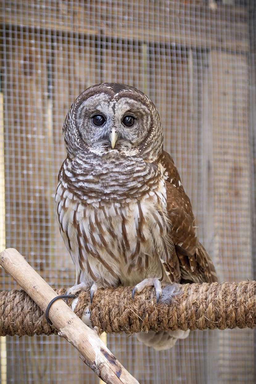 Barred Owl or Barn Owl? - Environmental Education - Medium