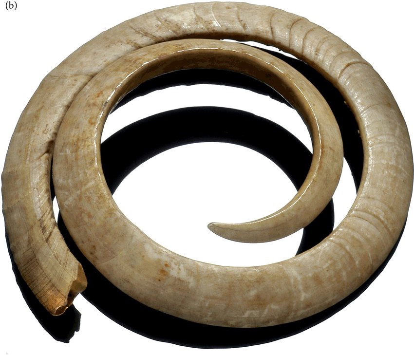 Two loop pig tusk circle collected in the South Pacific.