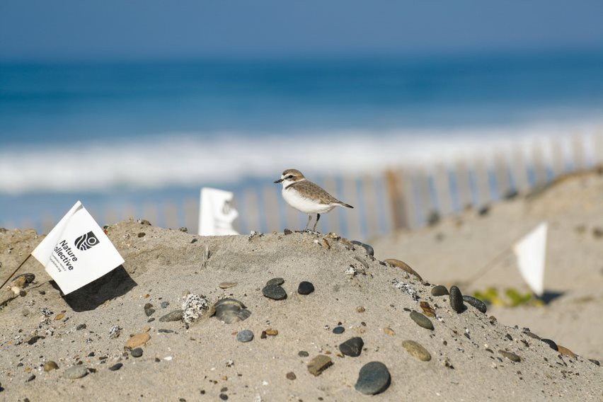 A western snowy plover (small bird with a white chest and grey feathers) standign atop a sand dune.