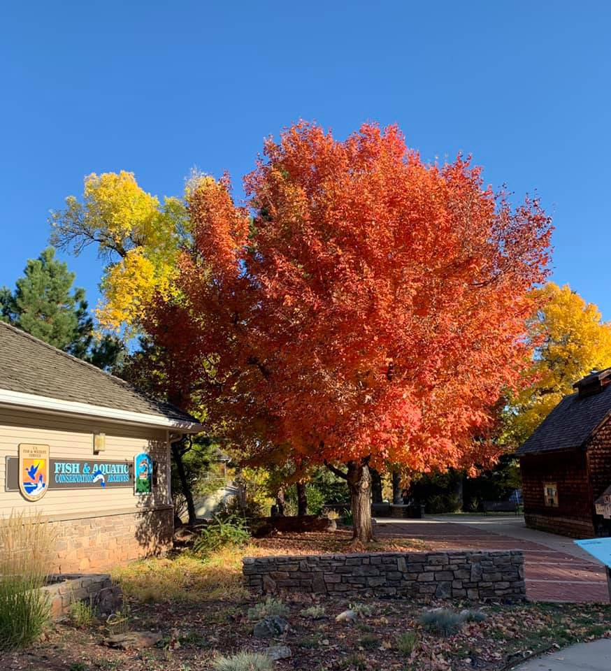 A tree with red leaves in the center of the photo. A building with sign saying Fish hatchery is to the right of the tree.