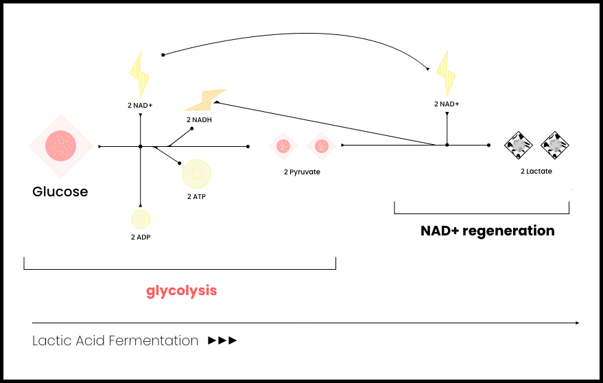 A colored diagram showing glycolysis, and the 2 pyruvates produced from it making 2 lactate molecules while releasing NAD+.