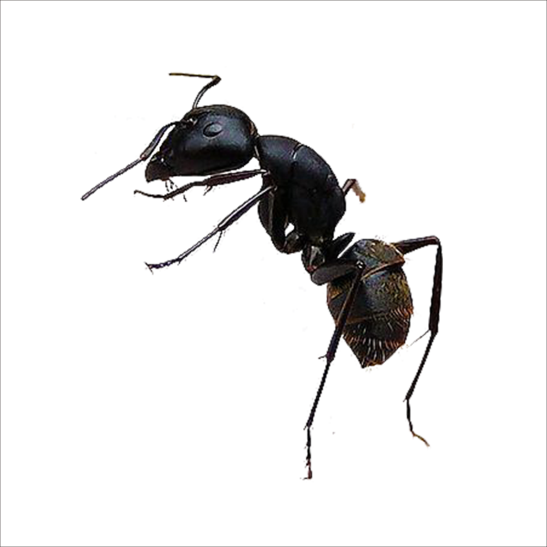 Big Black Flying Ants In Your House Identify Them By Christy Jason Medium