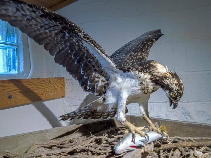 Osprey on display at Annapolis Maritime Museum