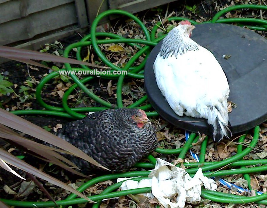 Basil and Sybil: A Norfolk Blue hen and a Suffolk White hen, sitting on a tangled hose and an old bin lid in the garden.
