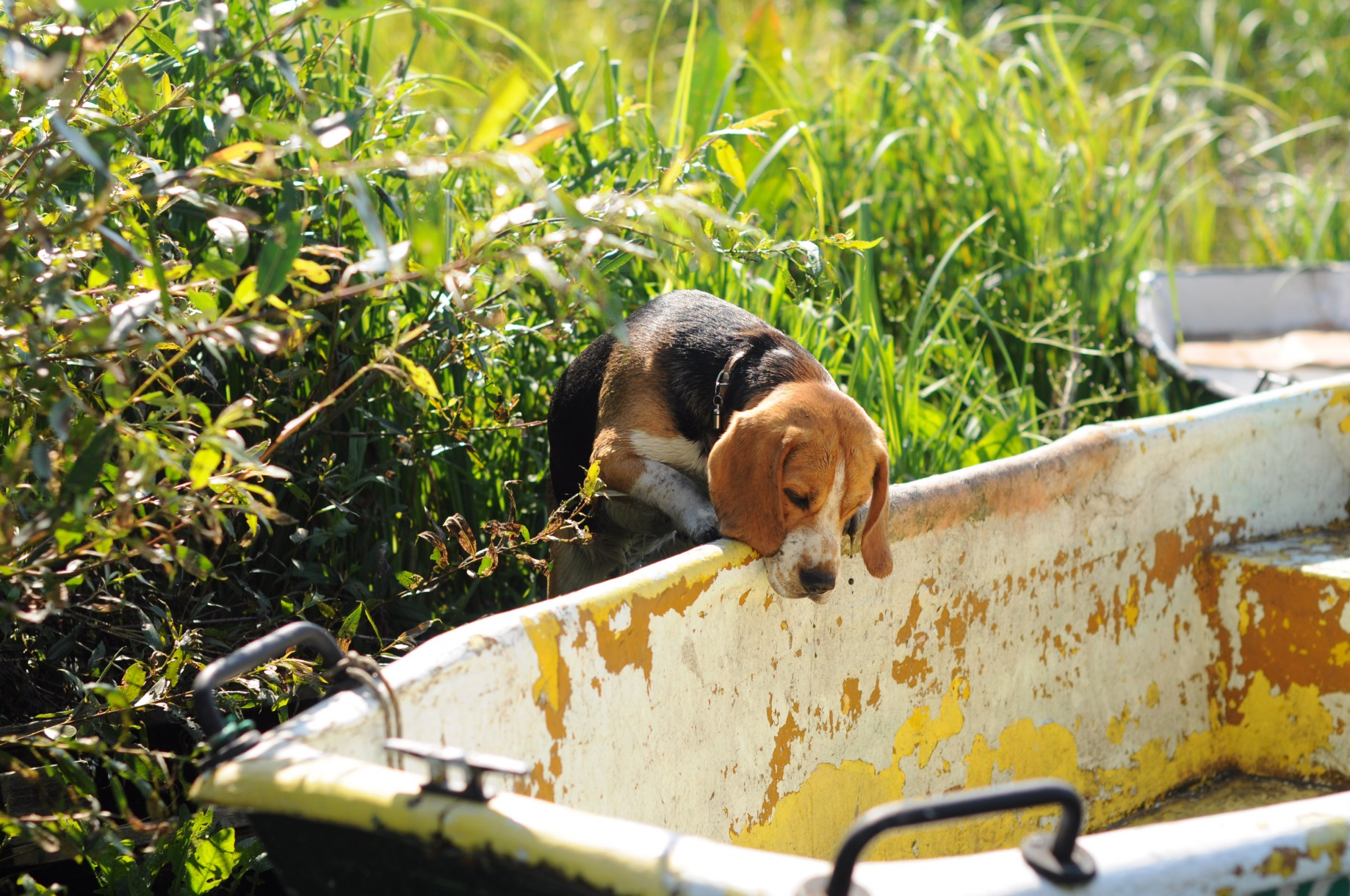 Beagles: Off-Leash Training or Not? - Richard Kitchen - Medium