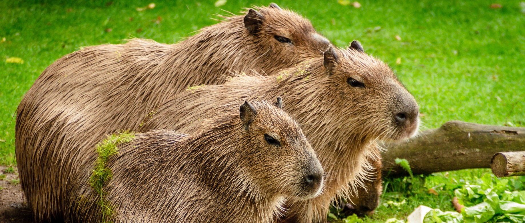 CAPYBARA JAVASCRIPT WINDOWS DRIVER