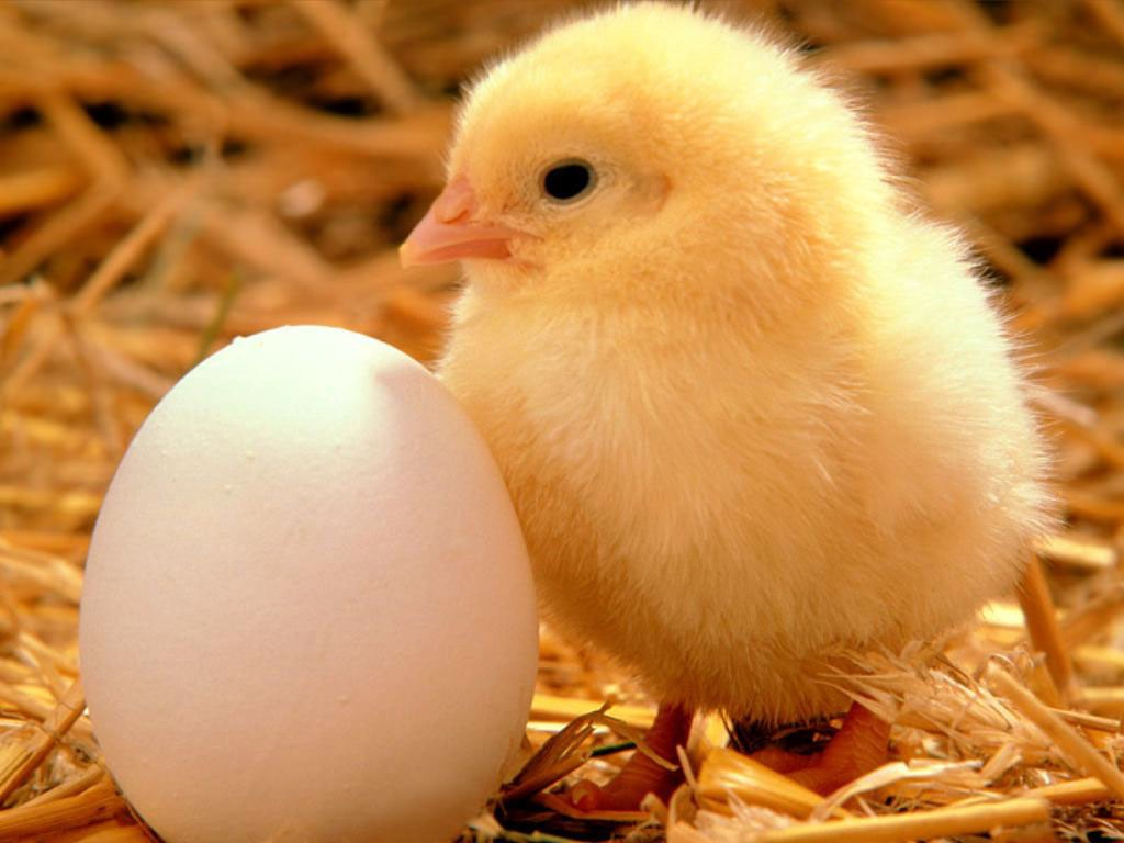 The Secret of the Chicken and the Egg | by Julie Zhuo | The Year of the  Looking Glass | Medium